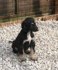 afghan hound puppies ohio the afghan hound puppys afghan hound and dog breeds