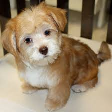 haircut for morkies ideas about morkie hairstyles cute hairstyles for girls