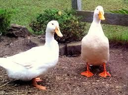 Best Laying Hens For Backyard 203 Best Ducks Images On Pinterest Raising Ducks Raising