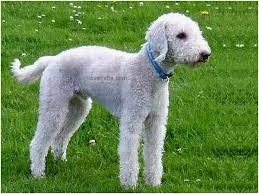 bedlington terrier stud bedlington terrier nice pet groom moderate head fuzzy tail