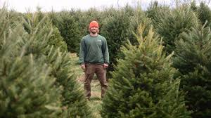 balsam tree there may be a run on christmas trees this year as shortage steers