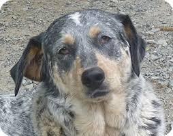 bluetick coonhound dog earl adopted dog brattleboro vt bluetick coonhound hound