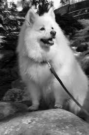 american eskimo dog yahoo american eskimo dog from the spitz family