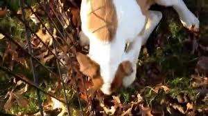 australian shepherd jack russell terrier buford the boxer australian shepherd mix looking for a forever
