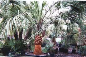 Palm Trees Fruit - jelly palm tree fruit edible all the best fruit in 2017