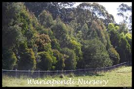 native plants australia list creating sustainable windbreaks native plant and revegetation
