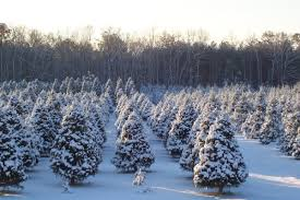 How To Trim A Real Christmas Tree - a tree to trim u2013 pick your own at a local christmas tree farm