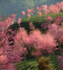 of china tree stunning pictures of trees in bloom show how not all of china has