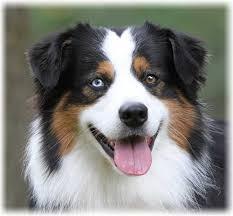australian shepherd ear types australian shepherd dog breed information and pictures