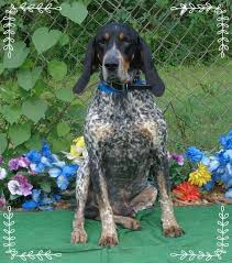 7 month old bluetick coonhound daily dogs archives page 56 of 103 gapundit