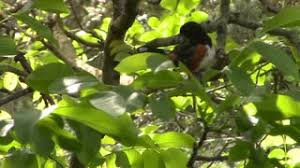 black bird up in a tree stock footage videoblocks