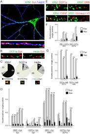 synaptic control of mrna translation by reversible assembly of download figure