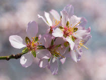 ornamental flowering almond stock photos images pictures 24