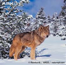 grey wolf photo canis lupus g57812 arkive