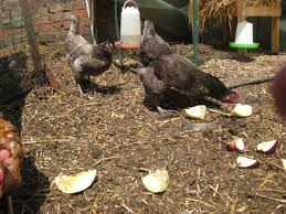 backyard chickens stories and information about keeping egg