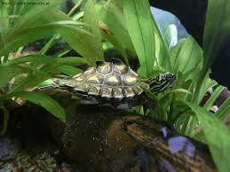 Ringed Map Turtle Graptemys Flavimaculata Natural History Care And Photo