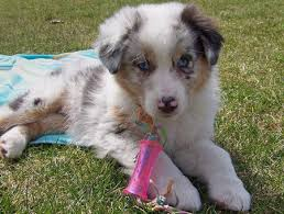 australian shepherd 14 weeks topaz the australian shepherd puppies daily puppy