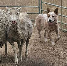 australian shepherd herding sheep australian cattle dog wikipedia