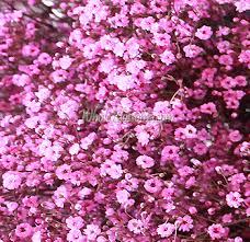 baby s breath flowers buy pink filler babys breath flower