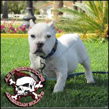 american pitbull terrier in india arizonas best king of bullys home to the best bred american