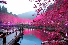 s dazzling cherry blossom trees light up at
