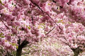 blossom trees saatchi art cherry blossom trees in milan italy photography by