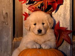 fall pumpkins background pictures cute fall pumpkins wallpaper cute golden retriever puppy on