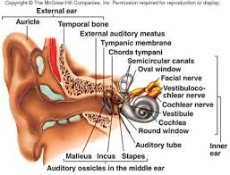 Inner Ear Anatomy And Physiology Labeling The Ear Quiz New Inner Ear Anatomy Quiz At Best Anatomy Learn