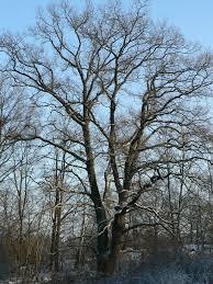 free stock photo of oak tree in winter plants