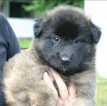 belgian sheepdog breeders ohio justice litter puppies genesis belgian shepherds