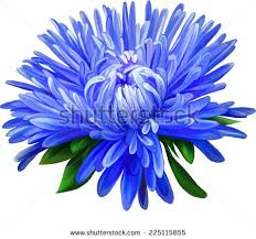 blue flower aster blue flower flower isolated stock vector 225115855