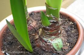 amaryllis flower rebloom your amaryllis bulbs how to make amaryllis bloom again