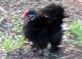 frizzle backyard chickens