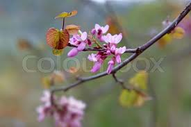 tree with pink flowers branch of a flowering tree with pink flowers copy space stock