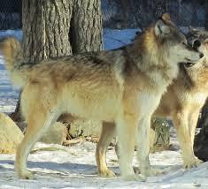fun wolf facts international wolf center