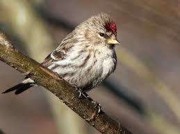 Ontario Backyard Birds Trichomonosis And How It Affects Birds The Gilligallou Bird
