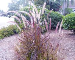 florida s ornamental grasses coastal news