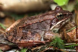 wood frog u2013 welcome to a photographic journey through the woods