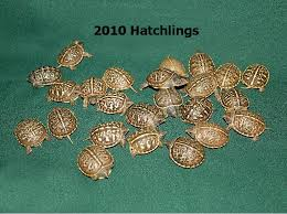 ornate box turtles small for sale from the turtle source