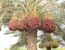 fresh dates fruit dabino or date fruits unsung healthy nuts of the deserts