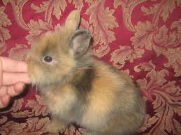 lion heads for sale lionhead bunnies available in walnut grove mo usa rabbit breeders