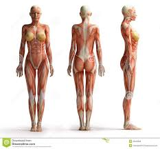 The Female Anatomy 31 Best Female References Images On Pinterest Anatomy Reference