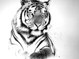 tiger drawing with type tiger drawing