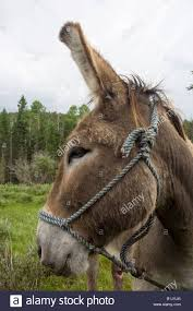 Philmont Scout Ranch Map A Donkey In A Field At Philmont Scout Ranch In Cimarron New