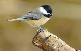 Nc Backyard Birds 10 Backyard Birds You Should Attract To Your Garden Hello Insect