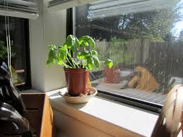 Indoor Spice Garden by How To Save A Dying Indoor Plant How To Save A Dying Basil Plant