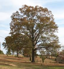 southern oak a top 100 common tree in america