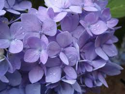 purple hydrangea purple hydrangea by kpcosplay on deviantart