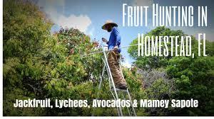 fruit hunting trec jackfruit jackpot lychees avocados u0026 mamey