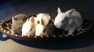 wild rabbits rabbit nests
